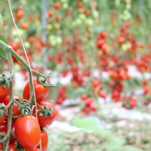 Pallet di pomodoro pixel, ideale per salsa e passate.